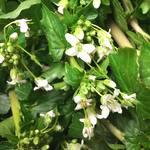 仙台藩 - 薬莱のわさびのお花