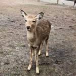 吉野本葛 天極堂 - 鹿せんべいを欲しがって、くっついて離れない鹿さん〜