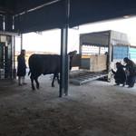 焼肉グレート - トラックに乗る牛さんをみて