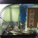 81288130 - 水槽のうなぎ達(鹿児島県産)