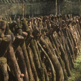 10月〜3月のみ味わえる獲れたての原木栽培しいたけ