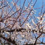 餃子のハルピン - 井の頭公園、梅が満開です