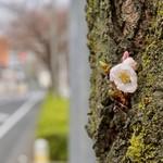 つけ麺 道 - 桜の蕾もほころび始めました