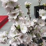 割烹 とよだ - 福徳神社の盆栽の桜