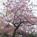 村上開新堂 - お隣の敷地に咲いていた桜