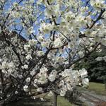 梅月 - 梅の花