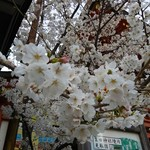 泰南 - 生田神社の桜はいい頃合い