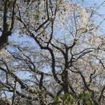 六義園 吹上茶屋 - 枝垂れ桜