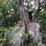 じゅごん - 樹齢 推定400年のサキシマスオウノキ