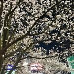 ジャン・フランソワ - 2日後のハチ公広場の夜桜1