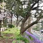 一幸庵 - 筑波大横の窪町東公園の紫花菜の群生と桜