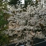 83150152 - 桜きれい