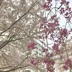 一幸庵 - 枝垂れ桜とソメイヨシノ