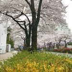一幸庵 - レンギョウと桜