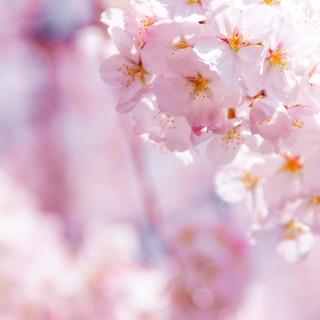 【桜お花見プラン4,500円】フリードリンク付!