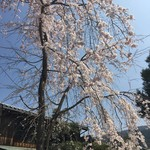 83191012 - 入口の桜は満開でした。