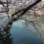 83219550 - 寝起きの桜、鴨スイスイ〜