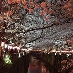 83222395 - 夜の目黒川の桜