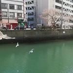 83223667 - 大岡川の桜とウミネコ