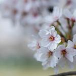 83241780 - 櫻花(さくら)
