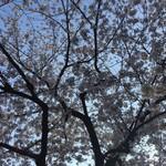Mira!たまプラーザ - 桜満開
