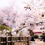 83305141 - こぼれんばかりの桜!!(´∀`*)ウフフ