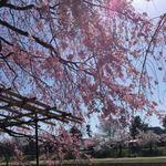 83307383 - ながらぎの道、枝垂れ桜