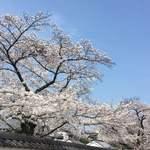83325528 - お店の近く、建仁寺付近の桜