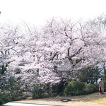 83327559 - 美しい一本木の桜
