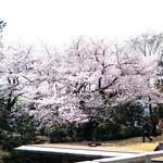 83327570 - 美しい一本木の桜
