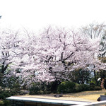 83327574 - 美しい一本木の桜