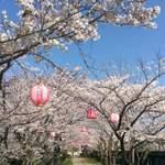 米増 - 豊中の桜並木道