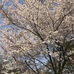 そば舎 あお - 咲き誇る桜