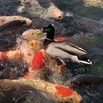 83367686 - オマケ。鯉の荒波を踏み越えていくカモ in 徳川園。