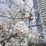 83402907 - ちょうどこの時は桜がほぼ満開だったので時おり花を愛でながら歩いていくと