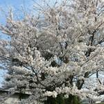 83443040 - たぬきや横の桜