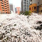 83497379 - 目前の六本木さくら坂の桜