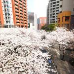 83497380 - 目前の六本木さくら坂の桜