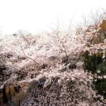 83497385 - 目前の六本木さくら坂の桜