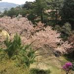 東海カントリークラブレストラン - 13番ホール脇の桜