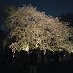 ケムリ 参 - 六義園のしだれ桜