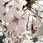 83595216 - 大岡川の桜