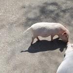 83653278 - 豚さん