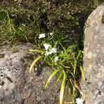 83798967 - 石段の花(シャガ)