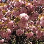 83961109 - 濃いピンクが 鮮やかな カンザン