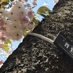 83961126 - 普賢菩薩のお乗りになる象の形に めしべ が似ていると言われる 普賢象桜