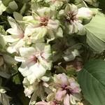 83961133 - 最初は、花びらが緑色、その後に赤が入る                       ギョイコウ