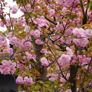 名物の八重桜が見頃!!