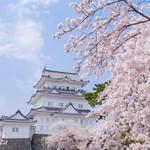84000663 - 小田原城と桜