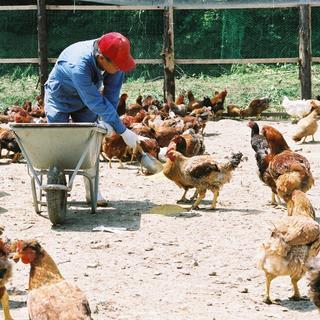 宮崎県日南市の契約農家から仕入れる「みやざき地頭鶏」を使用
